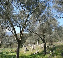 A Turkish Olive Grove by taiche