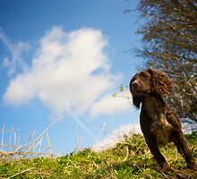 Meg the Cocker Spaniels  by bobsfotos