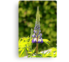 A single lupin Canvas Print
