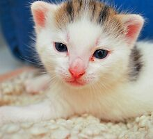 3 week old kitten by GreyFeatherPhot