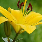 Yellow Lily by flashcompact