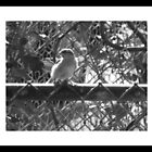 bird on  fence by jcarr