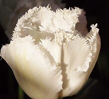 "Pristine ""Snowflake"" Fringed Tulip by seeingred13"