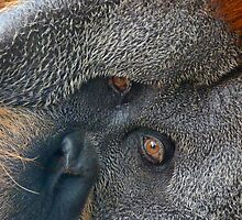 Eyes Of The Sumatran Orang-utan by Margaret Saheed