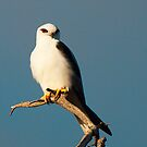 Black-shouldered Kite by John Sharp