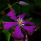 Purple Clematis by cclaude
