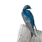 Tree Swallow by Eivor Kuchta
