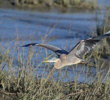 Great Blue Heron Flying Low by imagetj
