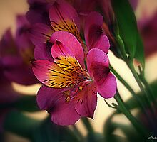 Alstroemeria - Little Lily by naturelover