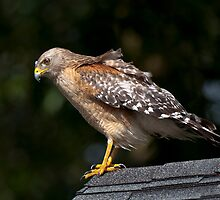 Neighborhood Red Shouldered Hawk by Joe Jennelle