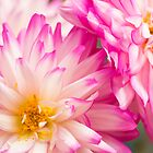 Two  White and Pink Decorative Dahlia by daphsam