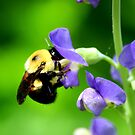 Bee on False Indigo by Brent McMurry