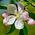Apple Blossom by M.S. Photography/Art