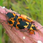 Antelope Horn Bug Family by Navigator