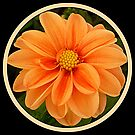 Peach Aster by ©The Creative  Minds