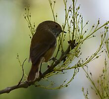 Beautiful Brown Thornbill Juvenile by Derek Midgley