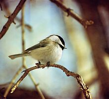 shy chickadee by Kelly Letky