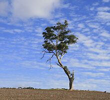 Lonely Tree, Auburn, S.A. by elphonline