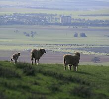 Sheep's  eye view, near Inspiration Point,S.A. by elphonline