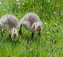 Canada Geese - goslings by elainejhillson