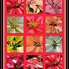 Poinsettias by MotherNature
