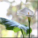 ~ Calla Lily ~ by Brenda Boisvert