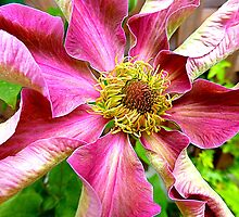 Abilene Clematis Year Two by Fara