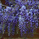 Wonderful Wisteria by John Dalkin