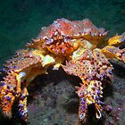Puget Sound King Crab  by naturediver