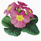 Bright Pink Primroses by Susan Savad