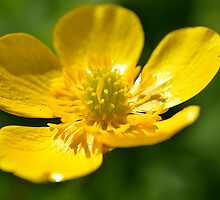 Buttercup by Lucy Adams