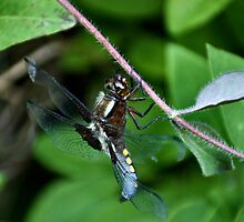Broad Bodied Chaser Dragonfly - image 2 by missmoneypenny