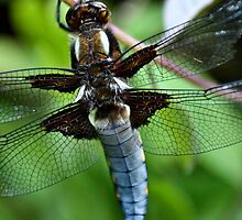 Broad Bodied Chaser Dragonfly - image 3 by missmoneypenny