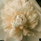 White Peony in Bloom by Elizabeth Thomas