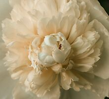White Peony in Bloom by Elizabeth Thomas