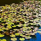 Lilly pads by DavidHornchurch