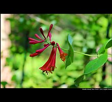 Lonicera X Brownii - Dropmore Scarlet Honeysuckle - Middle Island, New York by © Sophie W. Smith