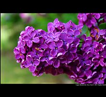 Syringa Vulgaris Decaisne - Lilac In Royal Purple Bloom - Upper Brookville, New York by © Sophie Smith