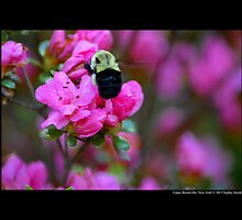 Xylocopa Virginica - Common Eastern Carpenter Bee - Upper Brookville, New York by © Sophie W. Smith