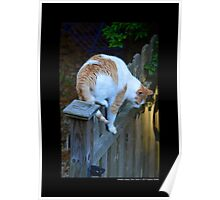 Felis Catus - White And Orange Domestic Stray Cat On A Wooden Fence - Middle Island, New York Poster