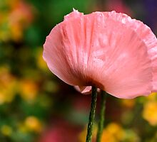 Gorgeous Pink Poppy  by LudaNayvelt