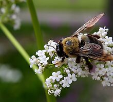 Spring Bee - Ault Park Cincinnati by Tony Wilder