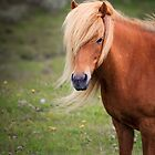 Icelandic Mare by Silken Photography