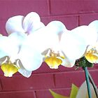 White Orchids - Florist Shop by EdsMum