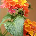 Lantana by ©Linda  Makiej