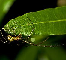 Male Mable Orchard Spider by Otto Danby II