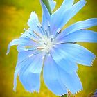 Blue Wild Flower by kahoutek24
