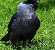 Jackdaw In The Garden by lynn carter