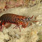 Peacock Mantis Shrimp - Odontodactylus scyllarus by Andrew Trevor-Jones