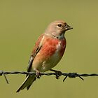 Linnet - IV by Peter Wiggerman